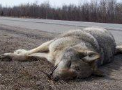 cadavre d'une louve découvert Abriès dans Hautes-Alpes