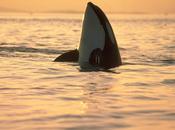 orques, captivité Blackfish
