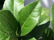 feuilles d'agrumes pour cuisson sous vide