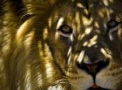 lion pensait cage