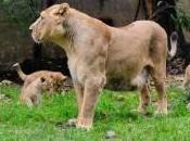 Donnez quatre lionceaux Mulhouse