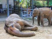 Chiang-Mai elephante tuée guêpes