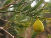 Bushfood plantes alimentaires traditionnelles Aborigènes d'Australie