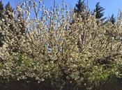 semaine cerisiers