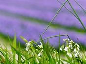 fleurs sauvages cultivées photos)