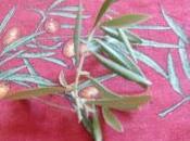 olives viennent d'être cueillies....