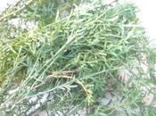 plante miraculeuse… estomacs fragiles.
