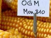 L'annulation Conseil d'Etat l'interdiction maïs MON810 coup d'épée dans l'eau