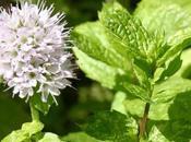 Plantes vous débarrasseront moustiques