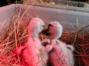 Centre Réintroduction d'Hunawihr… quand naissent cigogneaux