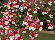 némésia jolie plante annuelle très florifère