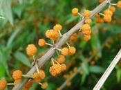 Fraise saule, fruit rare saveur originale