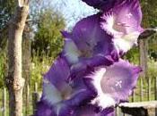 plante grosses fleurs: glaïeul