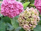 arbuste fleurs: hortensia.