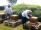 Ratte Touquet ouvre portes abeilles