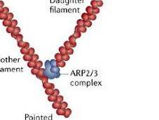 #trendsincellbiology #Arp2/3 #actine Diversité famille complexes Arp2/3