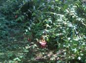 Fuchsia regia reitzii