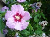 arbuste fleurs: l'hibiscus jardins althéa