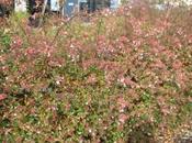 weigelia fleurs automne