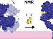 #cell #membranenative #RMN #EGFR Mesure l'Evolution dynamique l'EGFR cours l'activation dans membranes natives