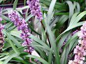 liriope petite plante vivace (bulbe) fleurit automne
