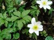 petite plante vivace fleurs blanches floraison mois Mars