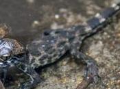 Oscar crocodile alsacien