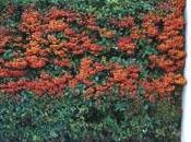 plante haie: pyracantha