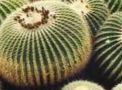 cactus désert mexicain: coussin belle mère echinocactus.