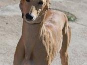 Lévrier Galga robe sable, agée 2ans l'adoption chez chiens galgos