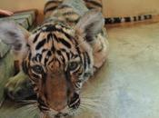 temple tigres-zoo rouvre Kanchanaburi
