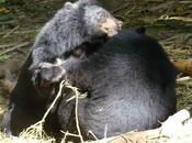 Khao Yai, ours route vers libeté meurt tombant l'helicoptére