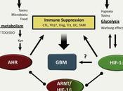 #trendsinendocrinologyandmetabolism #glioblastome #AHR #HIF1α Rôle HIF-1α dans métabolisme glioblastome
