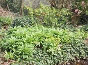 Allium ursinum Alliaria petiolata