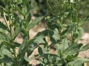 Comment reconnaître brocoli sauvage