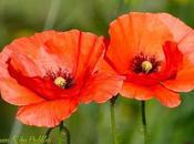 charmes coquelicots