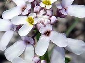 Ibéris Prost (Iberis intermedia subsp. violletii)