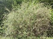 Lycium chinense fleurs