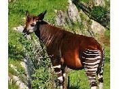 okapi découvert Congo