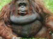 orangs-outangs savent reconnaître monnaies s'en servir