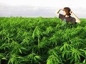 Cannabis: californie ouvrait