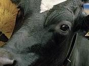 Robot calin pour vaches