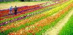 champ multicolore tulipes Valbonne
