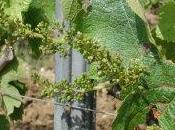 premières fleurs vigne millésime 2009