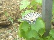 joli papillon machaon dans jeunes vignes Château Mirebeau