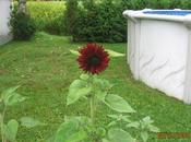 Sunflower Hibiscus Tournesol