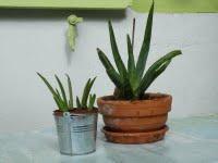 L'aloé véra: plante fabuleuse