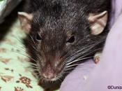 Rats: mort d'une dominante