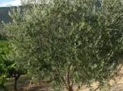 Fête l'olive piquée Nyons