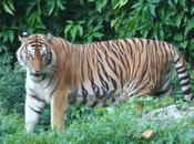 Tigre sauvage d'Asie est, chronique d'une extinction annoncée pour 2022